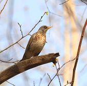 pic of brown thrush  - an image of a song thrush turdus philomelos - JPG