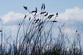 Silhouette Of Tall Grass Stems On Blue Cloudy Sky