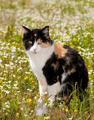 Beautiful calico cat sitting in the middle of spring wildflowers