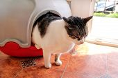 Cat Using Toilet, Cat In Litter Box, For Pooping Or Urinate, Pooping In Clean Sand Toilet. Cleaning  poster