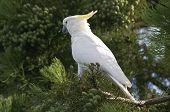 A Sulfur Crested Cockatoo On Tree.