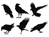 Set Of Ravens. A Collection Of Black Crows. Silhouette Of A Flying Crow. Vector Illustration Of Rave poster