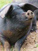 Cerdo sonriente