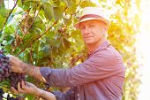 Winegrower Man In Straw Hat Picking Ripe Grapes In Vine Row. Traditional Winery Ecological Farm And  poster