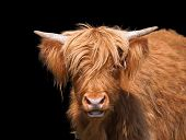 picture of highland-cattle  - Scottish Highland cattle closeup against dark background - JPG