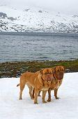 Two Dogues De Bordeaux against glacier, summer in Norway mountains