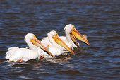 Pelicano branco