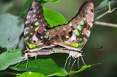 Tailed Jay Butterflies