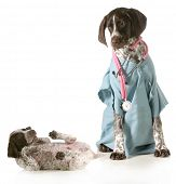 veterinary care - german shorthaired pointer dressed as a veterinarian looking after sick puppy isol