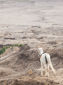 White horse stand at Desert Sand Dune Mountain Landscape of Bromo Volcano crater, East Java Island Indonesia (Selective focus at horse)