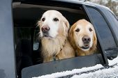 picture of car ride  - Golden Retrievers going for a car ride - JPG