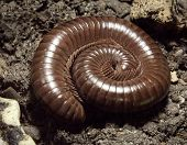 stock photo of millipede  - a brown rolled Millipede on earth ground - JPG