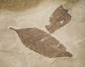 Two Fossil Leaves