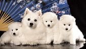stock photo of bitch  - bitch and puppies Japanese Spitz - JPG