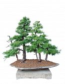 Bonsai tree with white background - Larch - Larix decidua