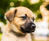 Brown Dog Puppy