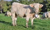 pic of charolais  - a young calf with a bell around the neck - JPG