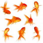 image of aquatic animals  - Gold fish isolated on a white background - JPG