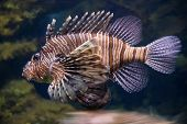 stock photo of dragon-fish  - dangerous scorpionfish  - JPG
