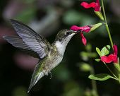 Black-chinned Hummingbird Archilochus Alexandri