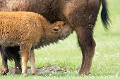 Bison Calf Suckling for Milk