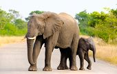 African Elephant Mother & Calf, Kruger National Park, South Africa