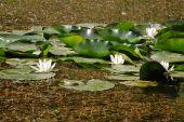 Wasserlilie und Frosch