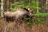 Moose with Antler, Alaska, USA