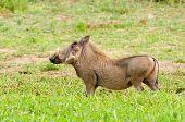 Warthog drinking water,Kruger National Park, South Africa