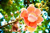 stock photo of cannonball-flower  - Cannonball Tree blooming in the temple of Thailand - JPG