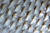 Real Roach Fish Scales Macro Background