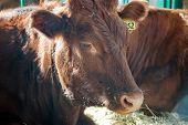 Cow Face Portrait