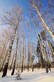 Winter Landscape With Sun And Frozen Birch