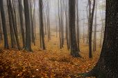 picture of trough  - Autumn in a forest with fog trough trees