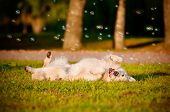 golden retriever rolling on the grass