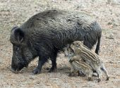 Two Wild Boar Piglets And Their Mother