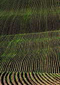 Rows or furrows for green healthy crops growing in agricultural field