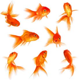 image of fishbowl  - Gold fish isolated on a white background - JPG