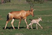Baby Red Hartebeest Antelope And Mom