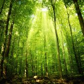 Sunbeams Falling Into The Forest