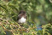 Black Phoebe, Bird