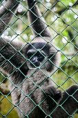 Portrait Of Monkey Gibbon