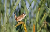 stock photo of cattail  - Marsh Wren standing on cattail close up