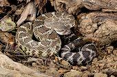 Southern Pacific Rattlesnake (crotalus Viridis Helleri).