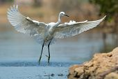 A White Morph Western Reef Heron Coming In A For A Landing
