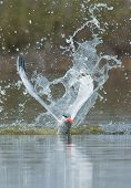 Caspian Tern Resurfacing After Impressive Impact