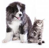 puppy and kitten breeds Maine Coon