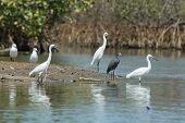 Four Western Reef Herons (three Of Them White Morph) And Two Gulls