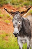 stock photo of burro  - Portrait of a wild burro at Custer State Park South Dakota - JPG