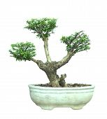The Azalea Bonsai Tree In A Pot